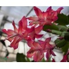 schlumbergera_exotic_dancer_2018121409