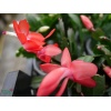 schlumbergera_sunset_dancer_2018032401